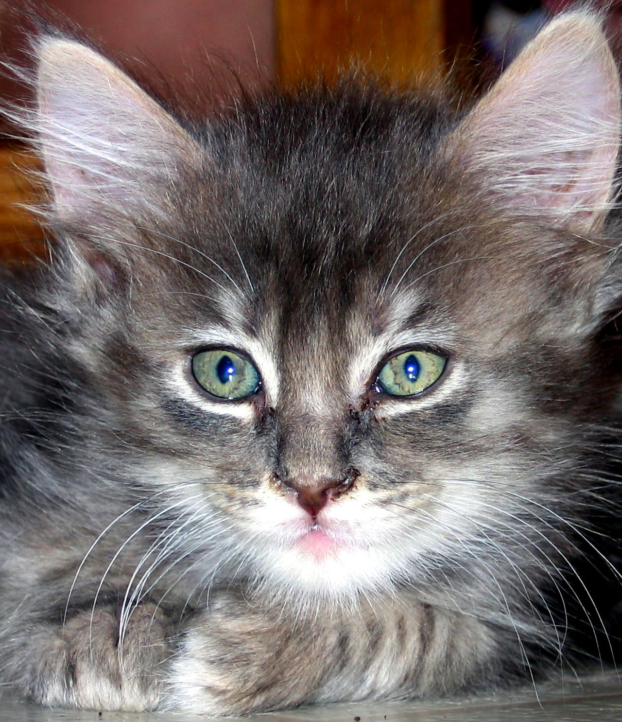 Animal Themes Close-up Day Domestic Animals Domestic Cat Feline Indoors  Looking At Camera Maine Coon Cat Mammal No People One Animal Persian Cat  Pets Portrait Whisker
