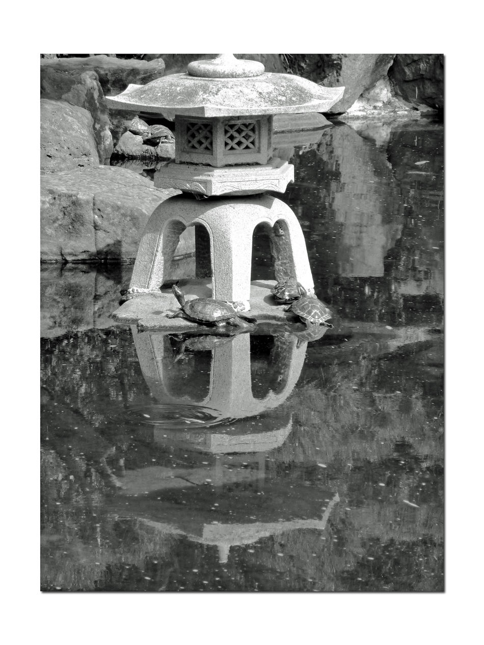 Turtles in a Pond 3 Red-eared Slider Reptilia Testudines Emydidae SemiAquatic Turtles Hayward Japanese Tea Garden Pond Water Bnw_friday_eyeemchallenge Japanese Lantern Garden Rocks Reflections Reflected Glory Reflections In The Water Monochrome Black & White Black And White Photography Black And White Black And White Collection  Most Popular Pet Turtle In U.S. Listed As Invasive Species