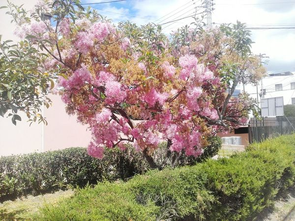 Pink Flowers Pink Flower 🌸 Pink And Green Pink Blossoms Tree Morning