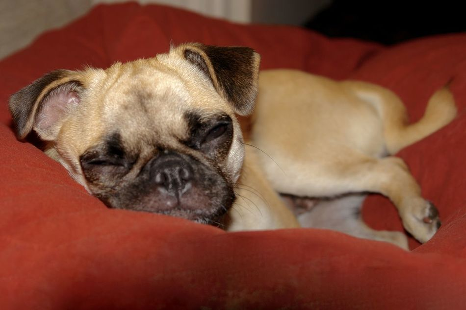 I know i'm cute...... Animal Animal Themes Chug Cute Pets Dog Domestic Animals Eyes Closed  Indoors  Lying Down No People One Animal Pets Pug Puppy Red Sleeping