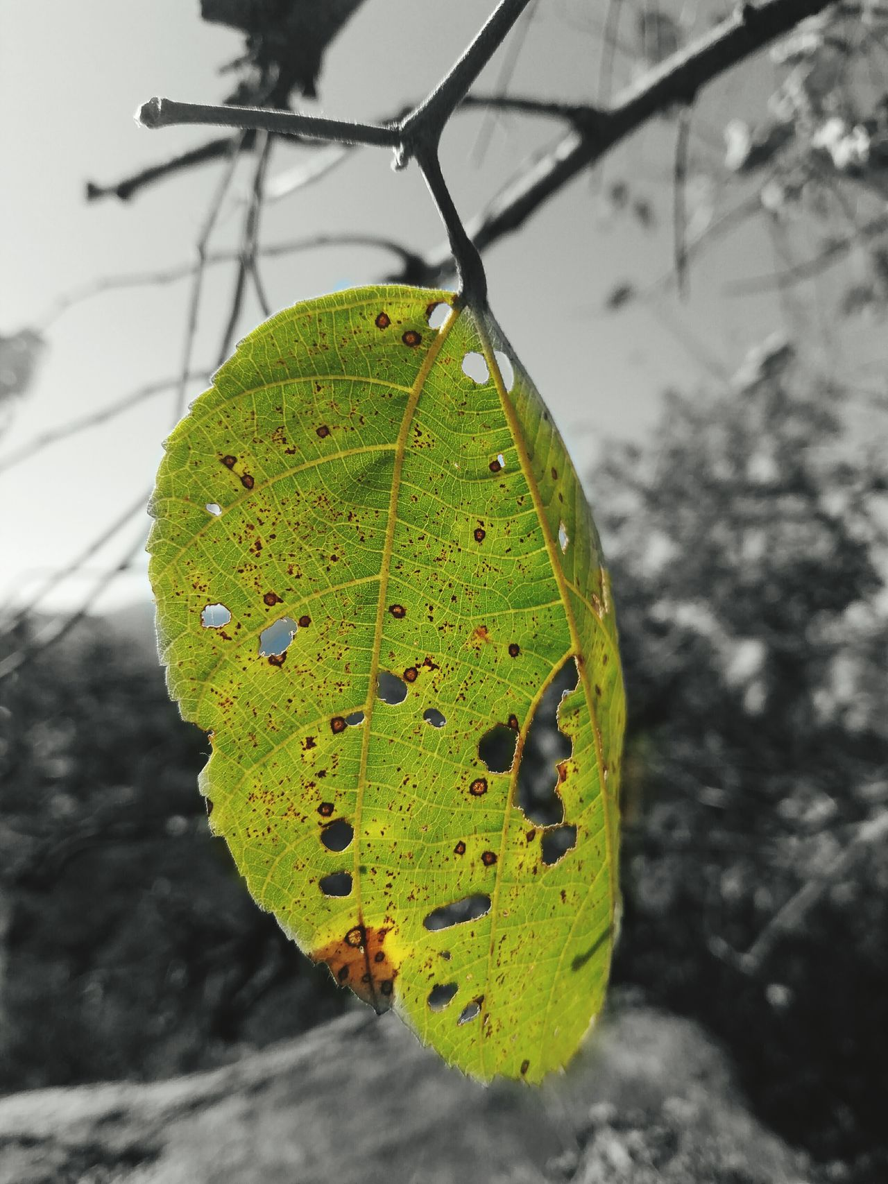 Green Color Yellow Close-up Nature Mount Abu Rajasthan , India Green Leaf