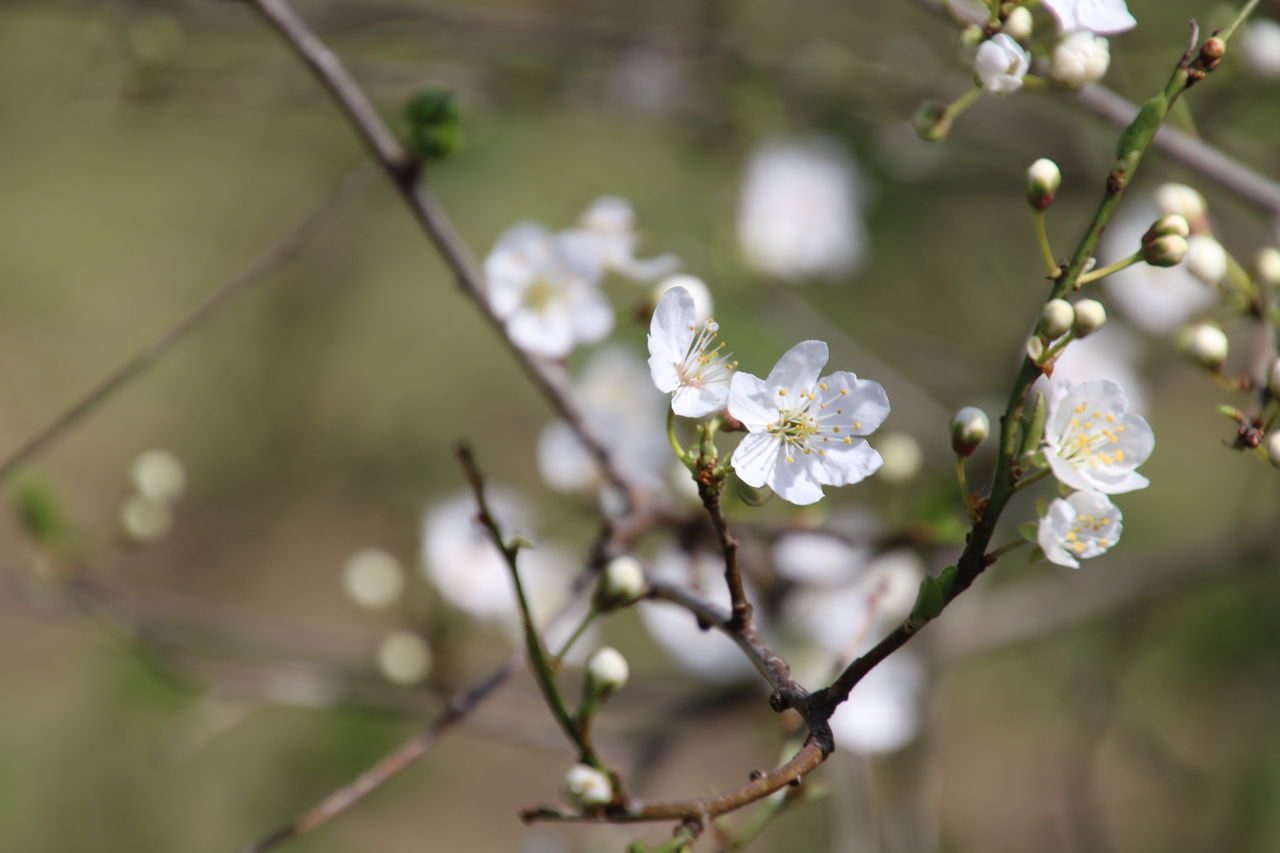 Beauty In Nature Nature White Color Growth Flower Tree Branch Springtime Fragility Twig Close-up Blossom Plant Flower Head Freshness No People Outdoors Almond Tree Day Plant Part