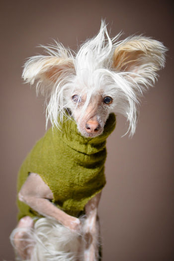Animal Animal Themes Chinese Crested Chinese Crested Dog Close-up Colored Background Dog Dog Love Dogs Dogs Of EyeEm Dogslife Dogstagram Domestic Animals Fun Looking At Camera No People One Animal Pet Clothing Pets Portrait Rock Star Studio Shot