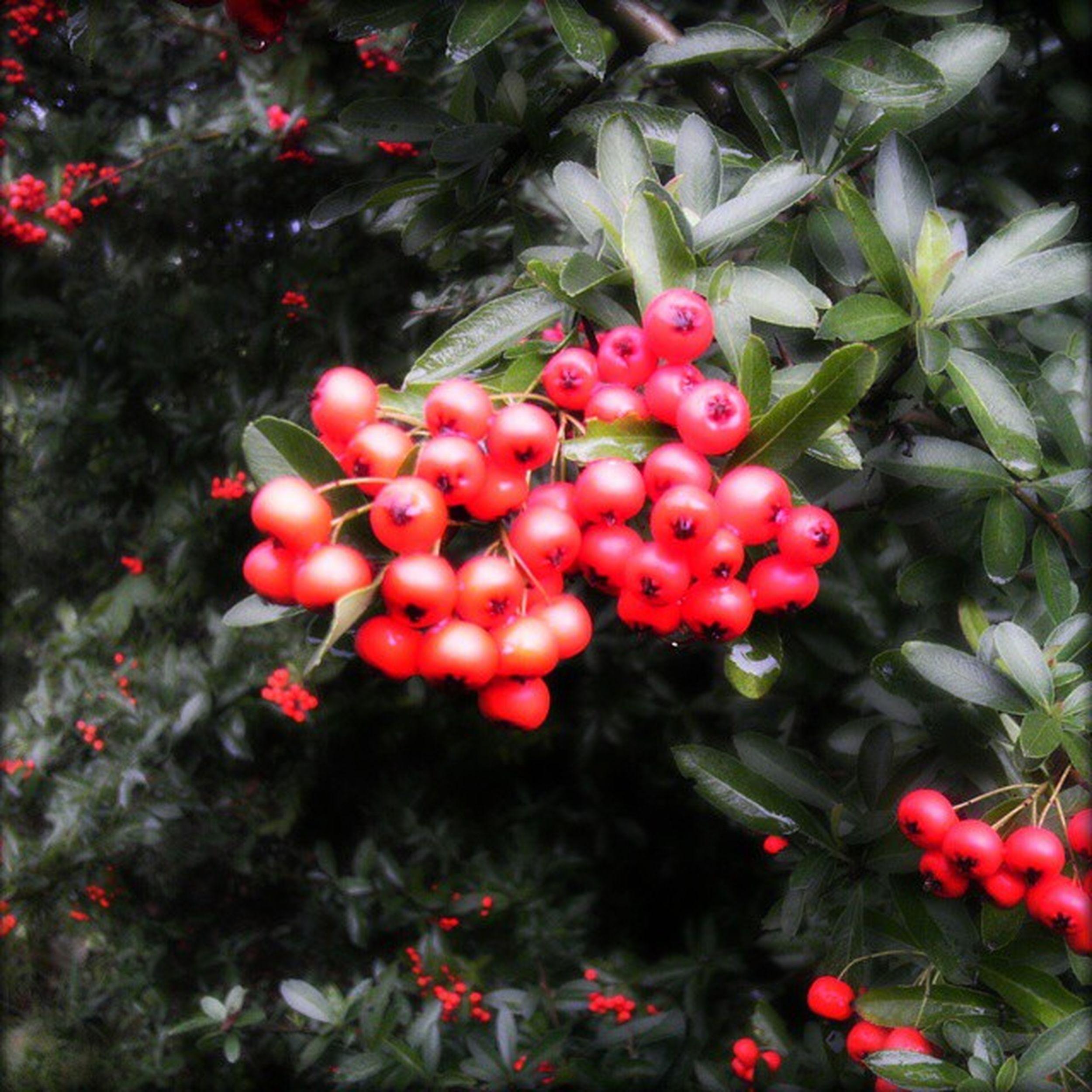 Sorbus Aucuparia Rowan Mountainash autumn fall park