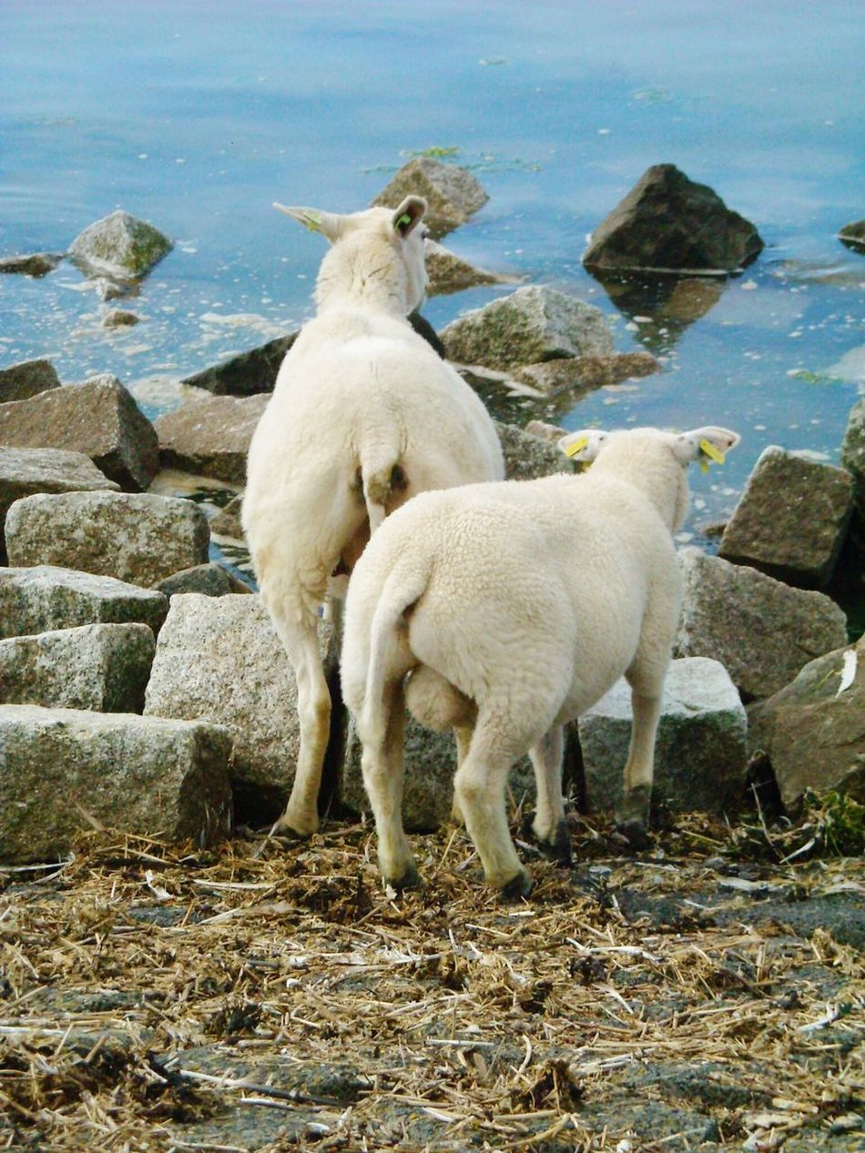 Animal Themes Mammal Sheep Close Up Photography Close-up ShotAnimal_collection Closeup In Nature View From The Back Rocks And Water Rock - Object Sea_collection Dike Water Sea Outdoors Animals In The Wild Animal
