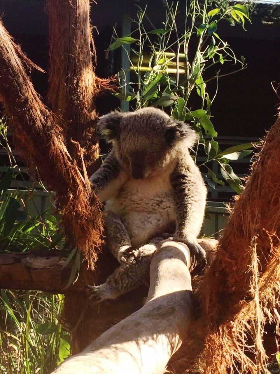 animals in the wild, animal themes, mammal, one animal, animal wildlife, no people, koala, outdoors, sitting, day, sunlight, tree, nature, branch, close-up