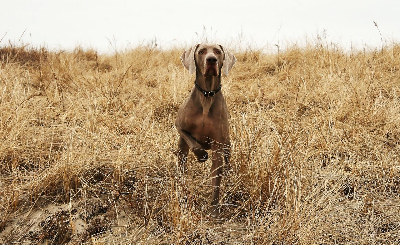 Beautiful stock photos of great dane,  Brown,  Canine,  Day,  Dog