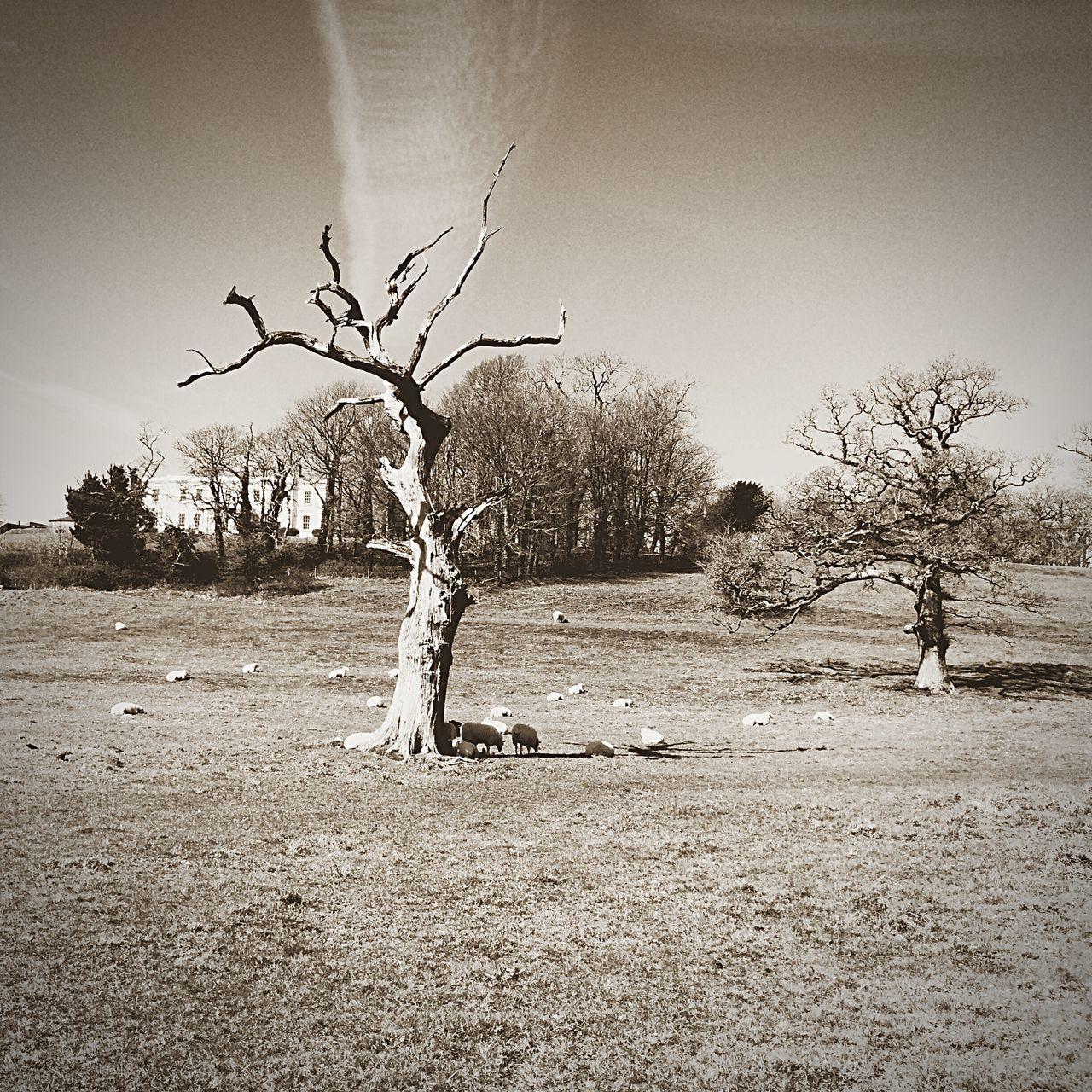 Tree Wales Llansteffan Sheep Landscape