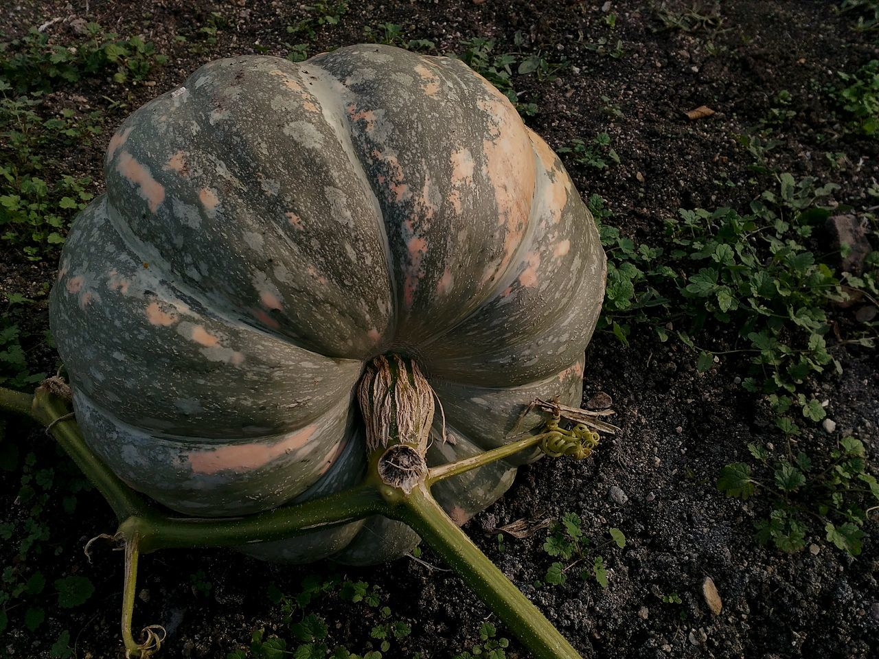 Close-up Field Pumpkin Pumpkin Season Pumpkinpicking Pumpkin Plant Pumpkin Leaves Showcase October Autumn 2016 Plant Growth Countryside Outdoors Nature No People Beauty In Nature From My Garden