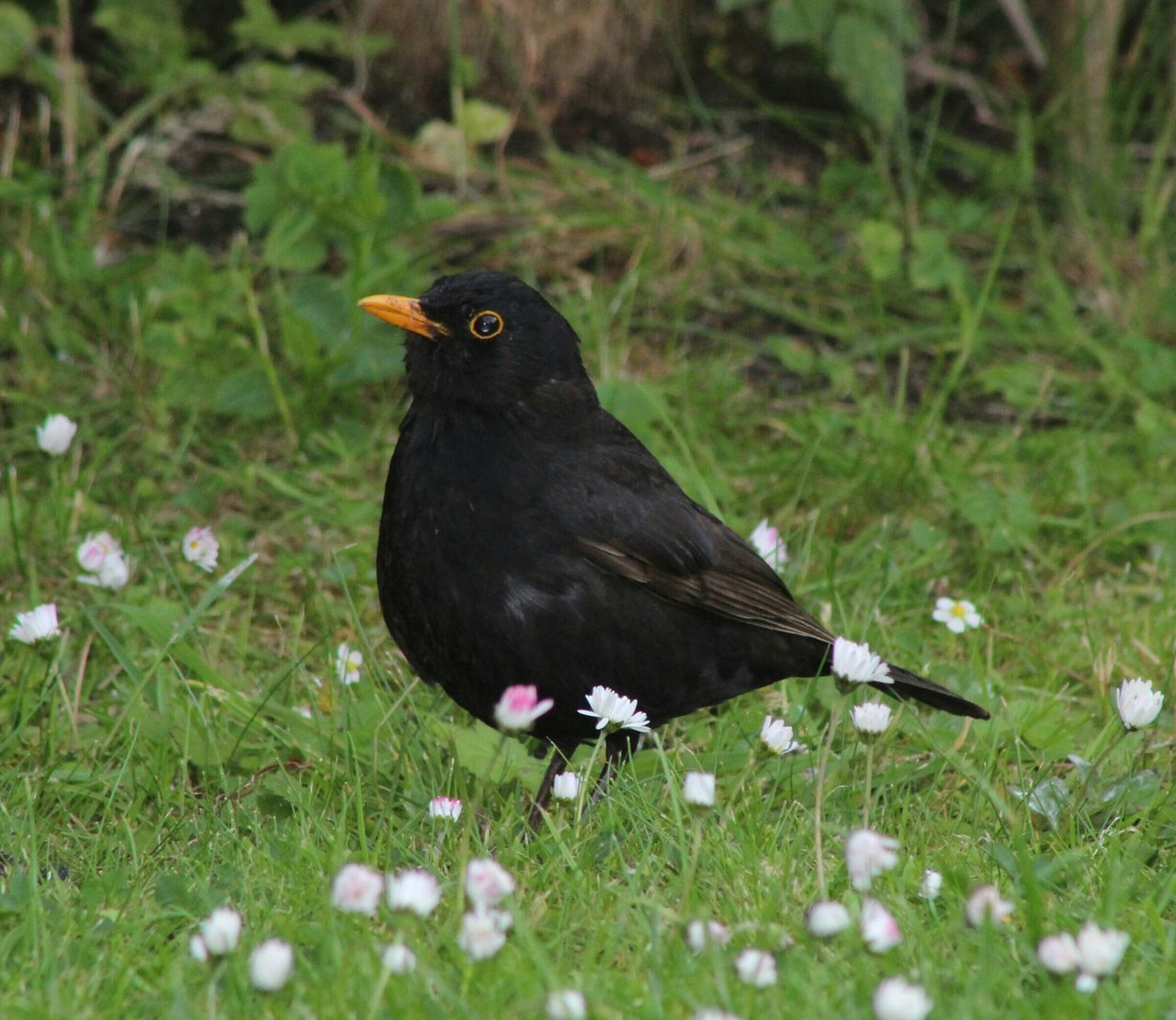 Close-Up Of Common Blackbird Perching Amidst Fresh Daisies