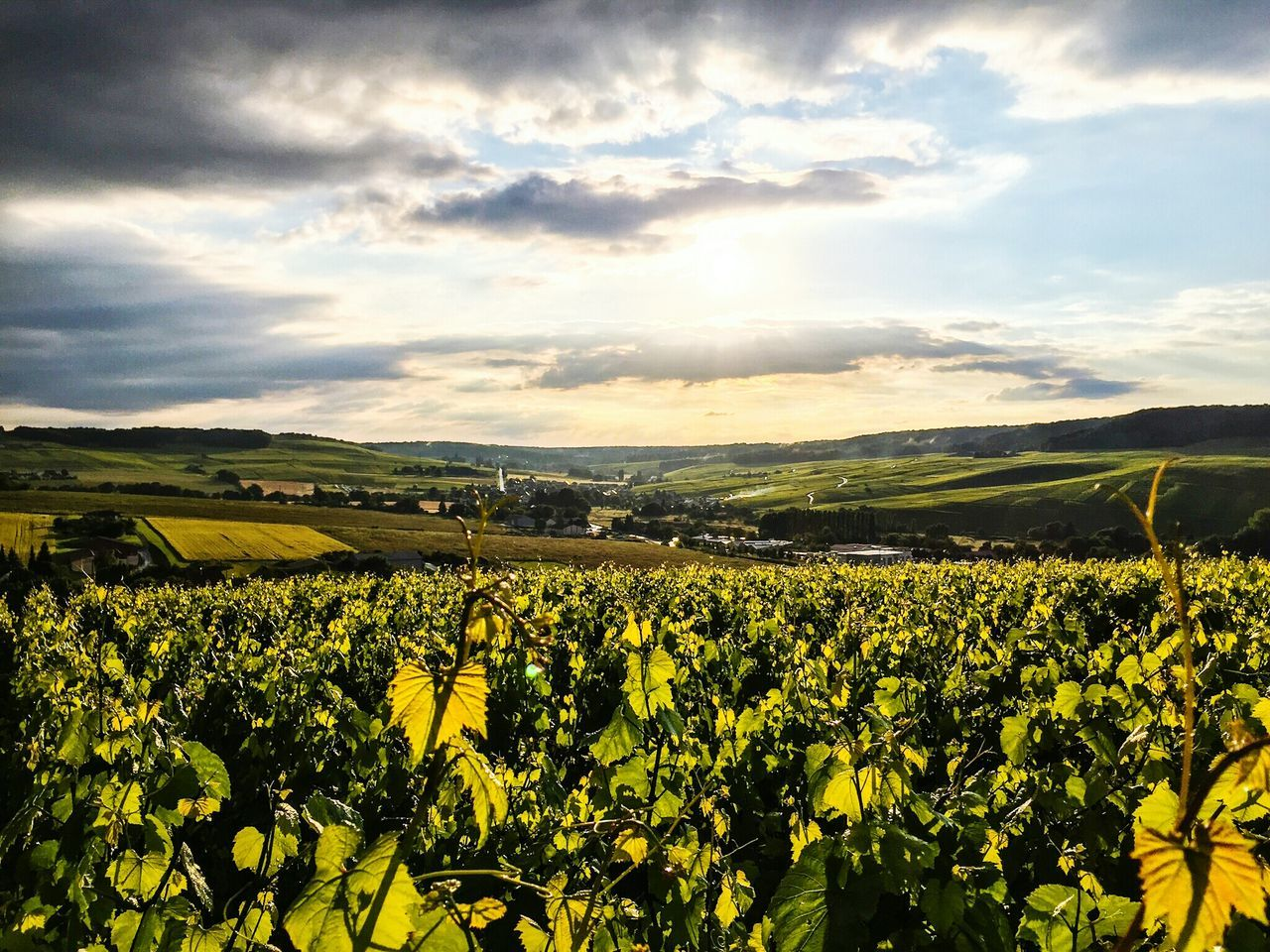 No People Champagne Region Champagne France Green Grapes Champagne Grapes Wine Grapes Wine Best EyeEm Nature Nature_collection Nature Photography EyeEm Nature Lover Naturelovers Flowerporn Nature_perfection Vivelafrance