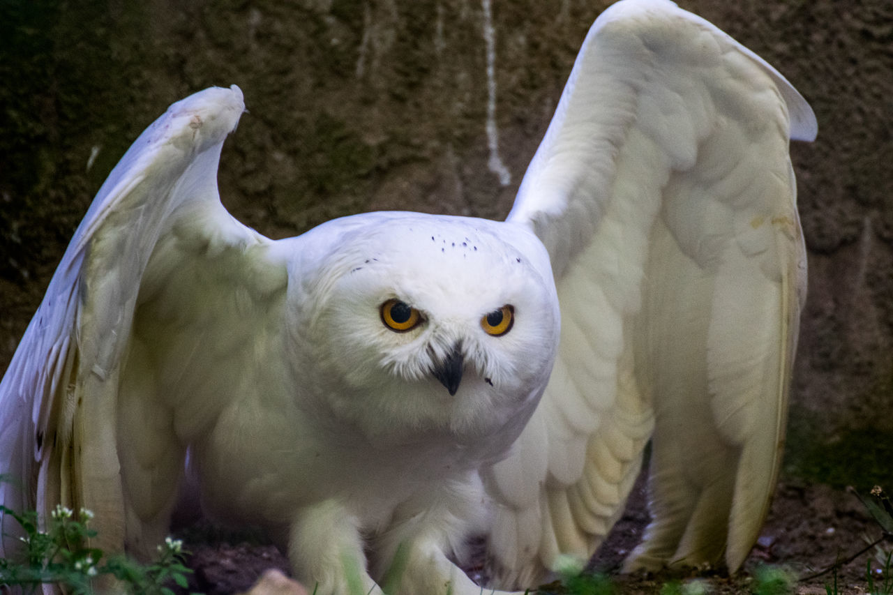Animal Themes Bird Close-up Nature No People One Animal Outdoors Owl Owl Eyes Snow Owl White Color The Great Outdoors - 2017 EyeEm Awards