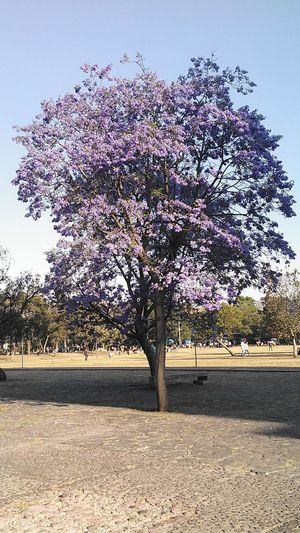 Tree Outdoors Clear Sky Sky Day Nature Scenics Beauty In Nature Arbre Jacaranda Jour Sunlight Architecture Nature Low Angle View Beauty In Nature, Mexico Tranquil Scene Exterior Mexico De Mis Amores Fleurs Purple Flower Flowers,Plants & Garden Sommergefühle