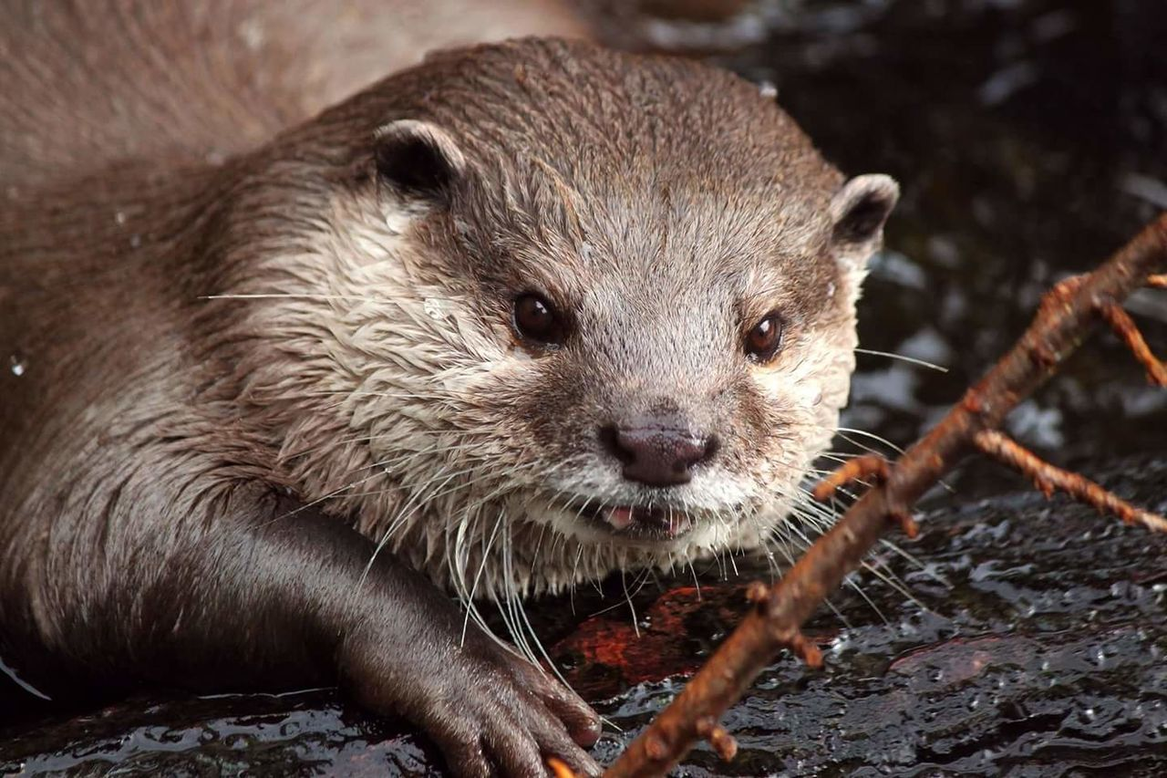 Animal Wildlife Animal One Animal Mammal Otter Animals In The Wild Close-up No People Whisker Looking At Camera Outdoors Nature Day Portrait Closing Otters Nature Water