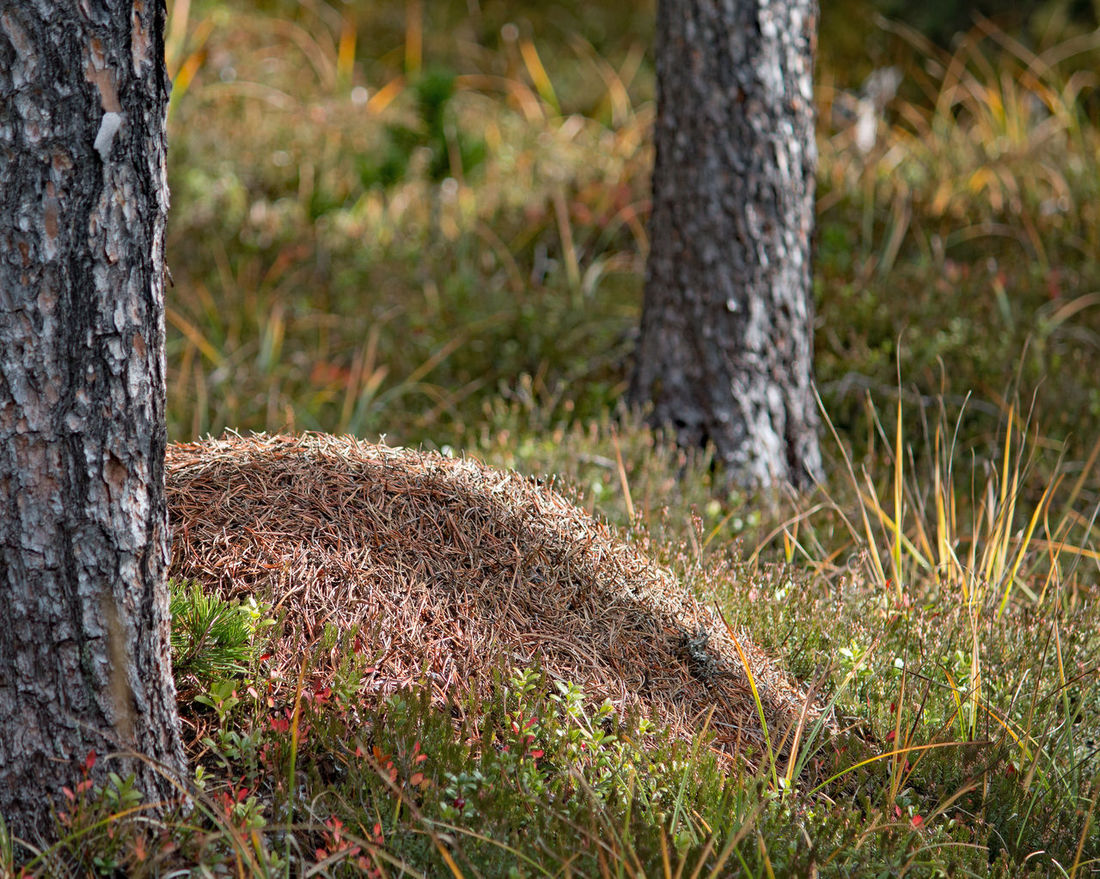 Ameisenhaufen, anthill, ant heap Animal Themes Ant Ant Heap Ant-hills Day Forest Forest Floor Grass In The Pine Forest Insects  Mammal Nature Nature Protection No People Outdoors Season  Tree Tree Tree Trunk Useful Animals