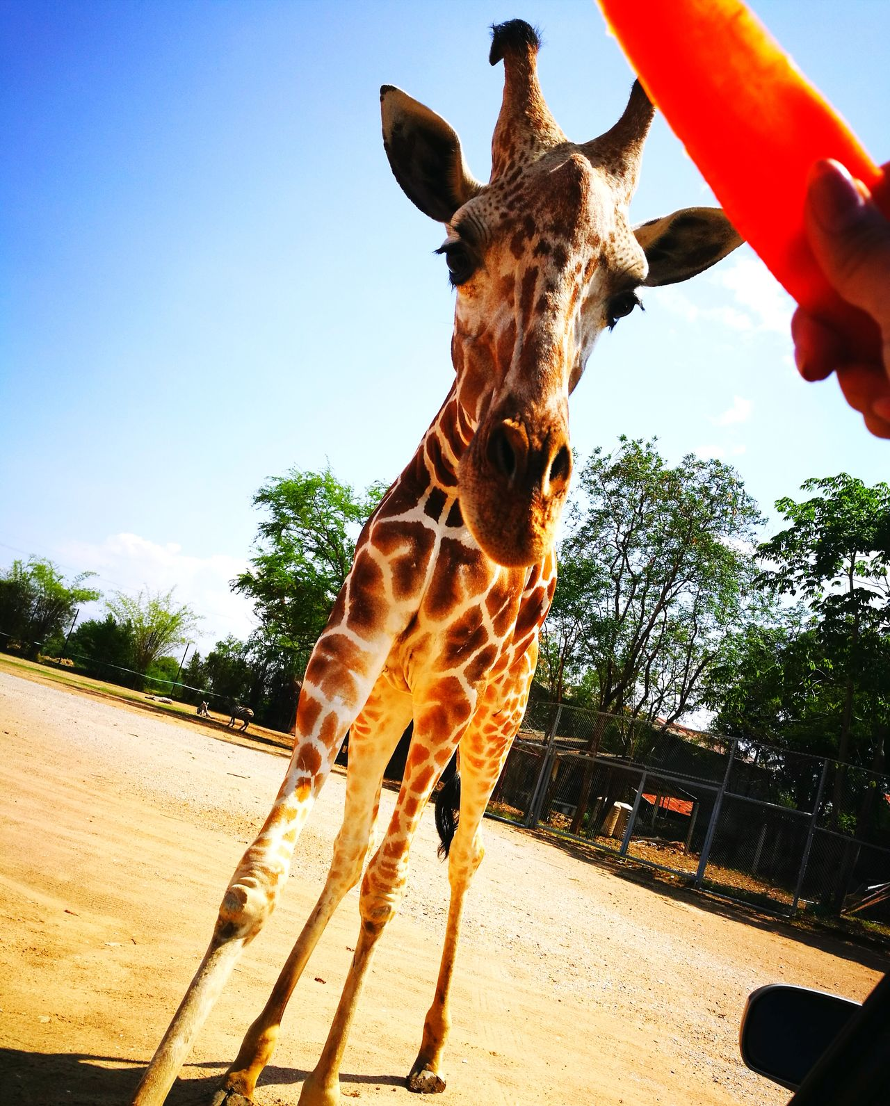 Nature One Animal Safari Animals Animal Themes No People Giraffe♥ Thailand Outdoors Close-up