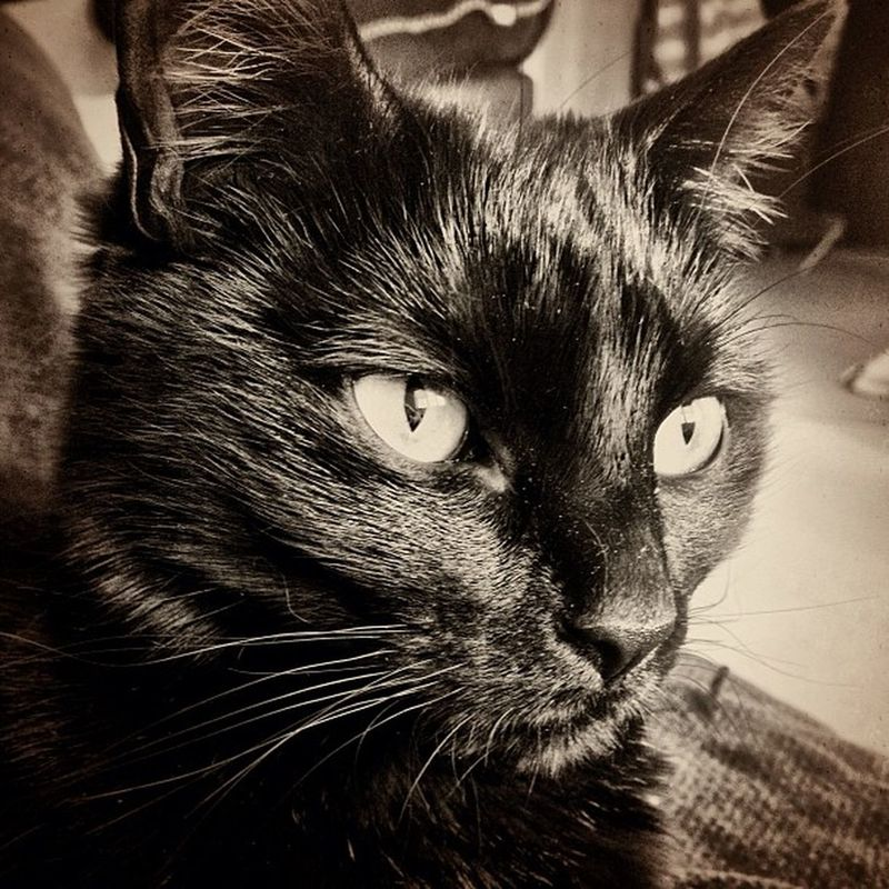 My gorgeous, beautiful Lucky Pie x ❤ Cats Catsifig Catsofinstagram Petsofig Petsofinstagram Lucky Photo365 Photooftheday Igers IGDaily Instapic Instacool Instagood Instamood Instagrammers Beautiful Black Blackcats Luckyblackcat Luckyblackcats Witchescat Fluffy Fussy Neko