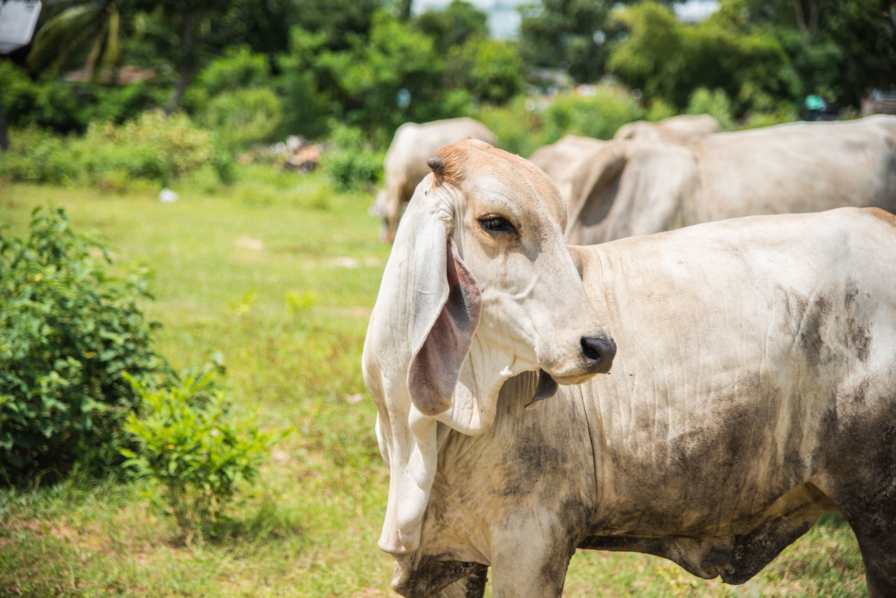 livestock, field, animal themes, mammal, one animal, day, domestic animals, outdoors, cow, grass, nature, no people, close-up