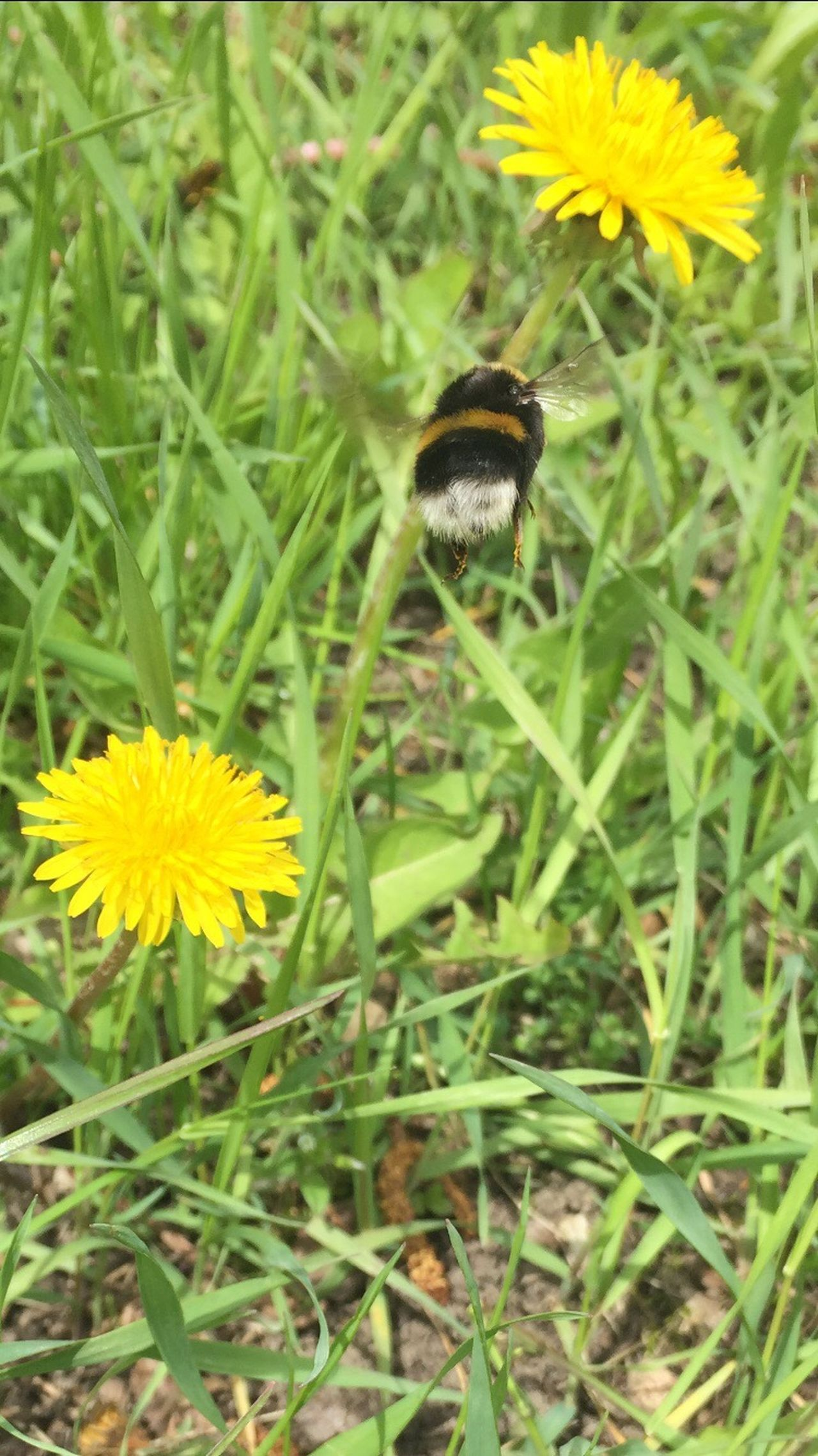 Abflug !!!! Der Frühling kommt 😍🤗 Flower Nature Fragility Beauty In Nature Growth Petal Plant Animal Themes No People Freshness One Animal Yellow Flower Head Animals In The Wild Insect Field Green Color Blooming Outdoors Close-up Spring Hummel Freshness Es Passt Einfach Zusammen ☀️ Wood - Material