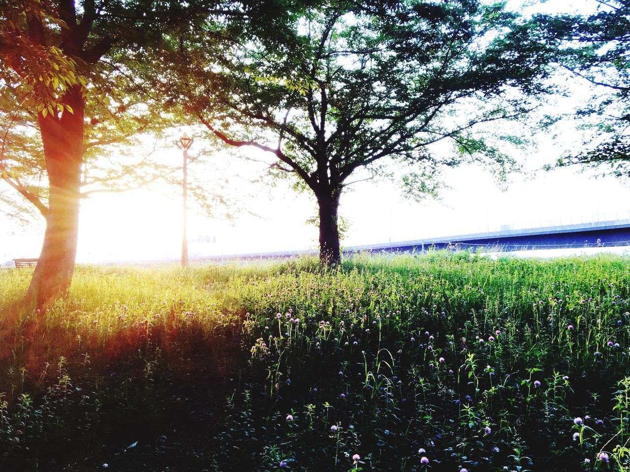 Sunset Tree Nature Growth Field Beauty In Nature Tranquility Tranquil Scene Scenics Landscape Agriculture Day Grass No People Outdoors Sunlight Rural Scene Green Color Plant Sky Branch