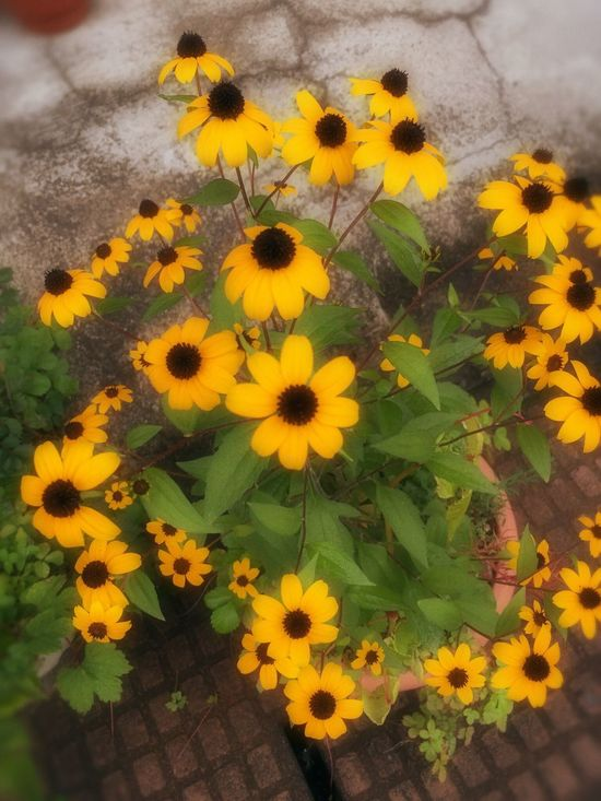 Roadside flowers Flower Freshness Yellow Fragility Growth Petal Flower Head Leaf Beauty In Nature Plant Nature Close-up Blossom Growing Green Color Day In Bloom Vibrant Color Autumn Daisy Daisies Blackeyedsusans Yellow Flowers Endofsummer Beauty Is Everywhere