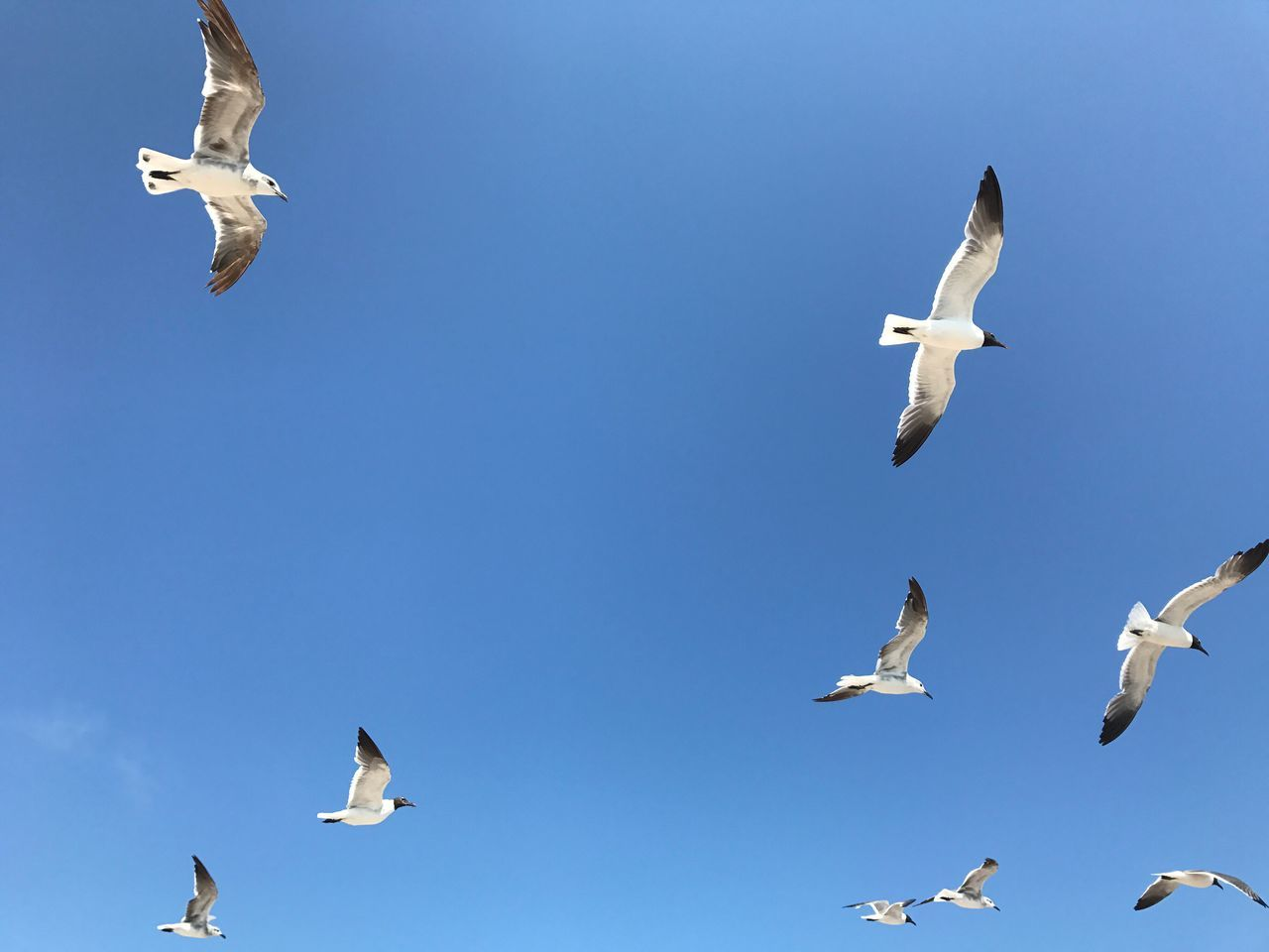 flying, animals in the wild, bird, animal themes, spread wings, animal wildlife, mid-air, day, low angle view, clear sky, large group of animals, flock of birds, seagull, blue, outdoors, no people, nature, sky, beauty in nature