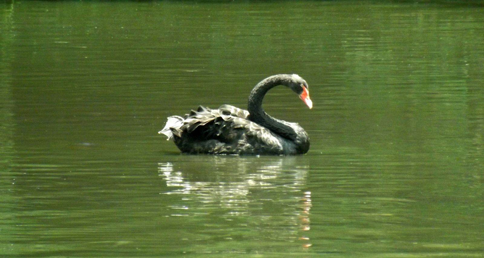 Nature Lake Black Swan EyeEm ParqueIbirapuera-SP Brasil