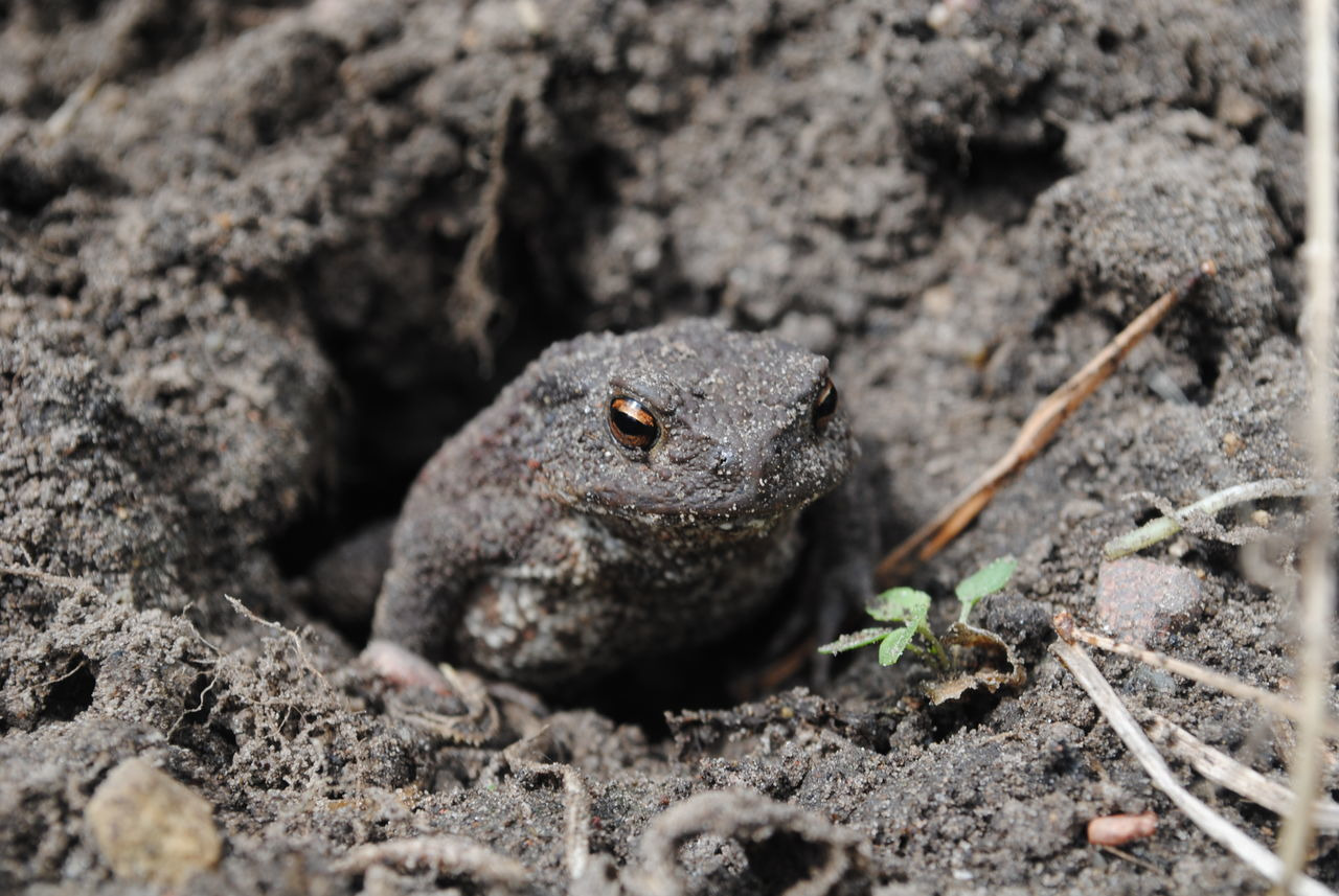 Beautiful stock photos of frosch, Alytus, Amphibian, Animal Eye, Animal Themes