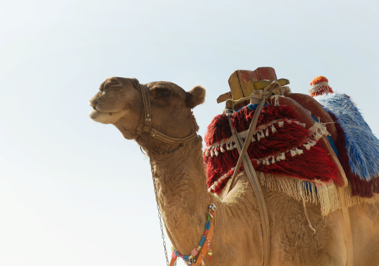 Animal Rides Camel Camel Ride Domestic Animals Fun Hump Low Angle View Mammal No People Outdoors Saddles Sky Statue Tourist Attraction