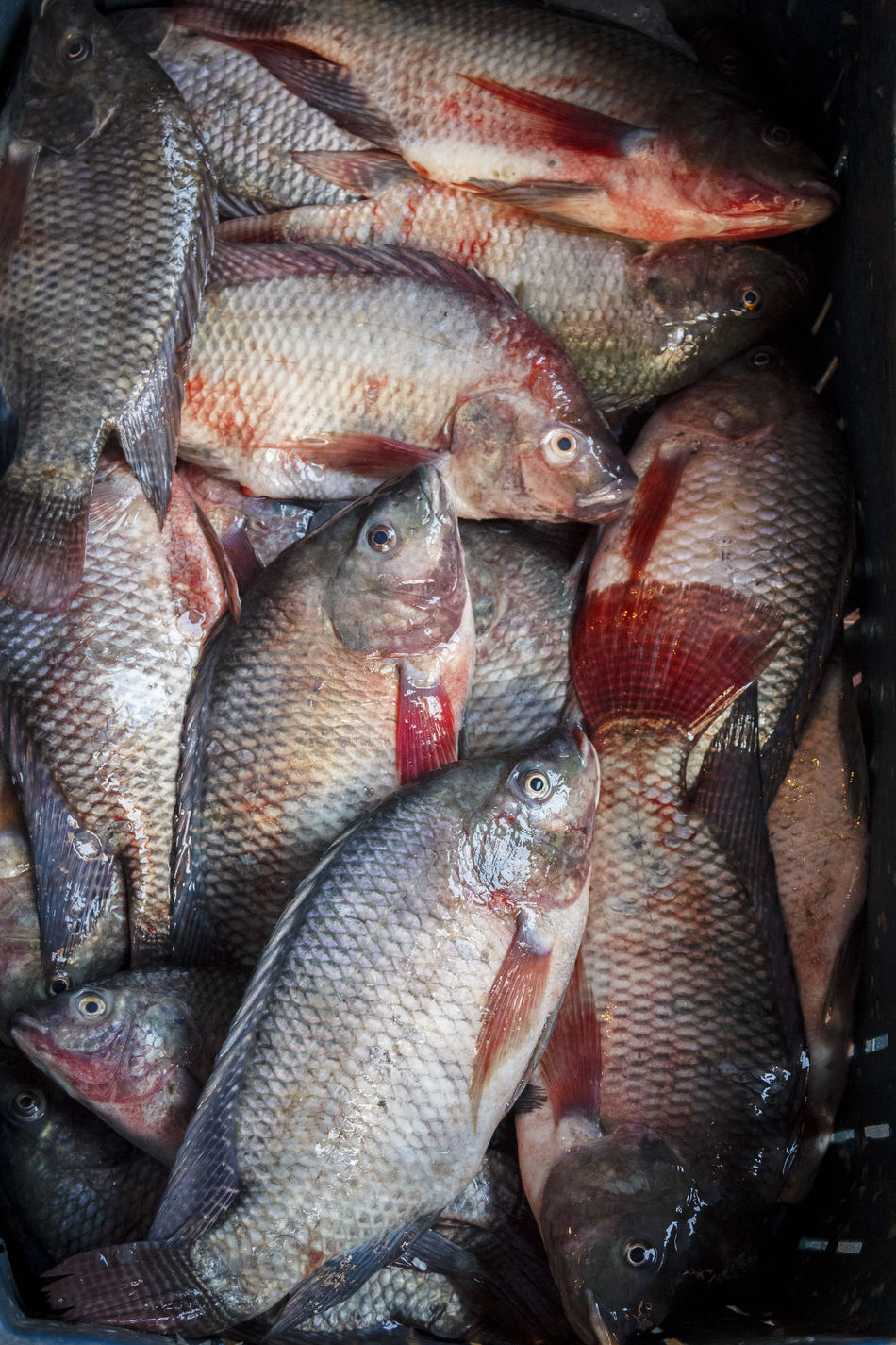 Backgrounds Close-up Day Fish Fish Market Food Food And Drink For Sale Freshness Full Frame Healthy Eating Indoors  Large Group Of Objects Market Market Stall No People Raw Raw Fish Raw Food Red Retail  Seafood Tilapia Tilapia Fish Tanks Tilapiafish