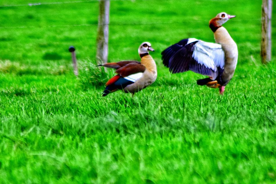 Alopochen aegyptiaca ~ Ouette d'Égypte Alopochen Aegyptiacus Alopochen Aegyptiaca Bird Grass Green Color Animals In The Wild Animal Themes Nature Field Outdoors Day No People Beauty In Nature The Purist (no Edit, No Filter) Art In Nature Nature As Art EyeEm Nature Lover I Love Nature Beauty In Nature Tranquil Scene