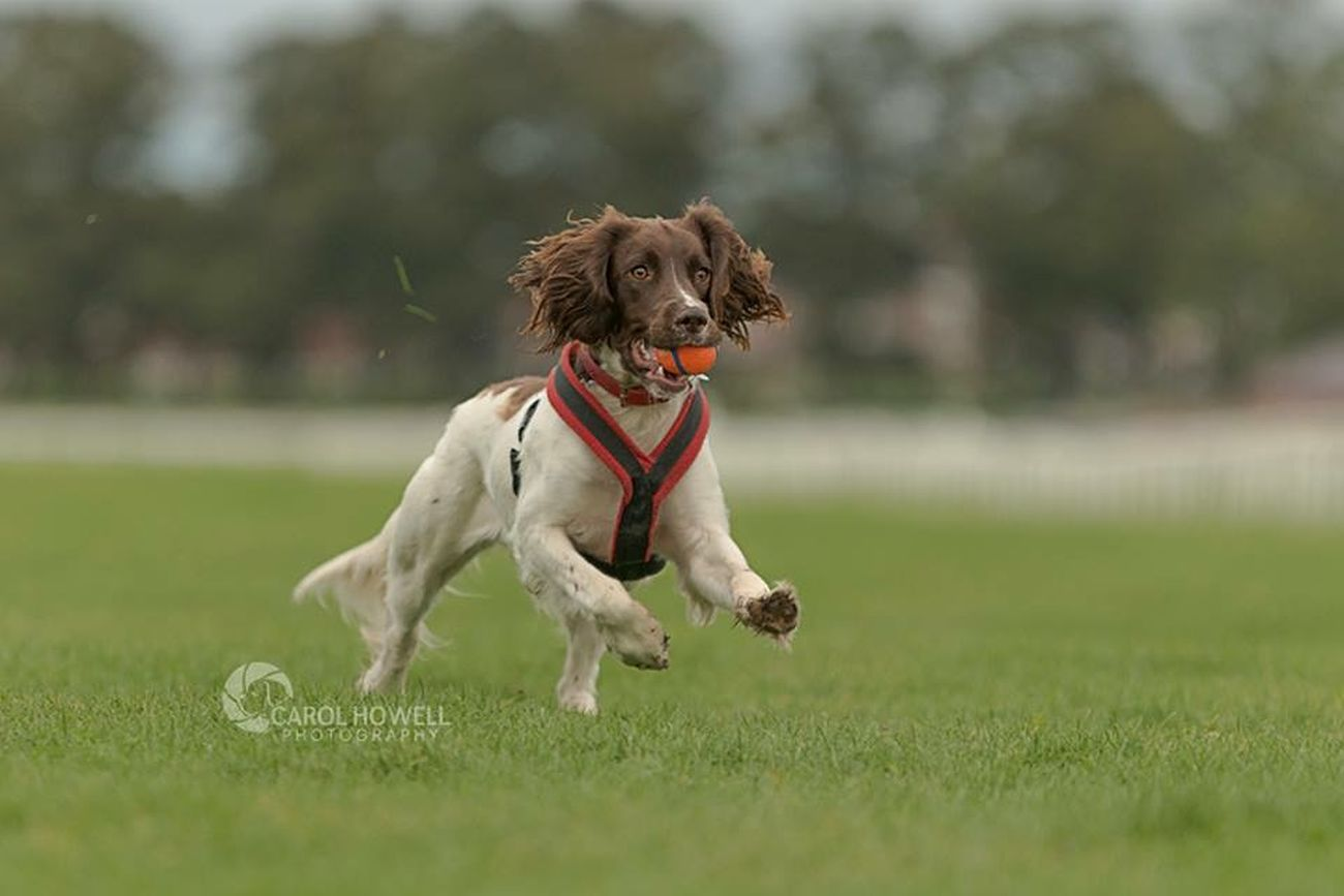 Bonnie loves her ball English Springer Spaniel Dog Pet Photography  Wolfe Does UK Pets Corner Happy I Love Dogs Nikon