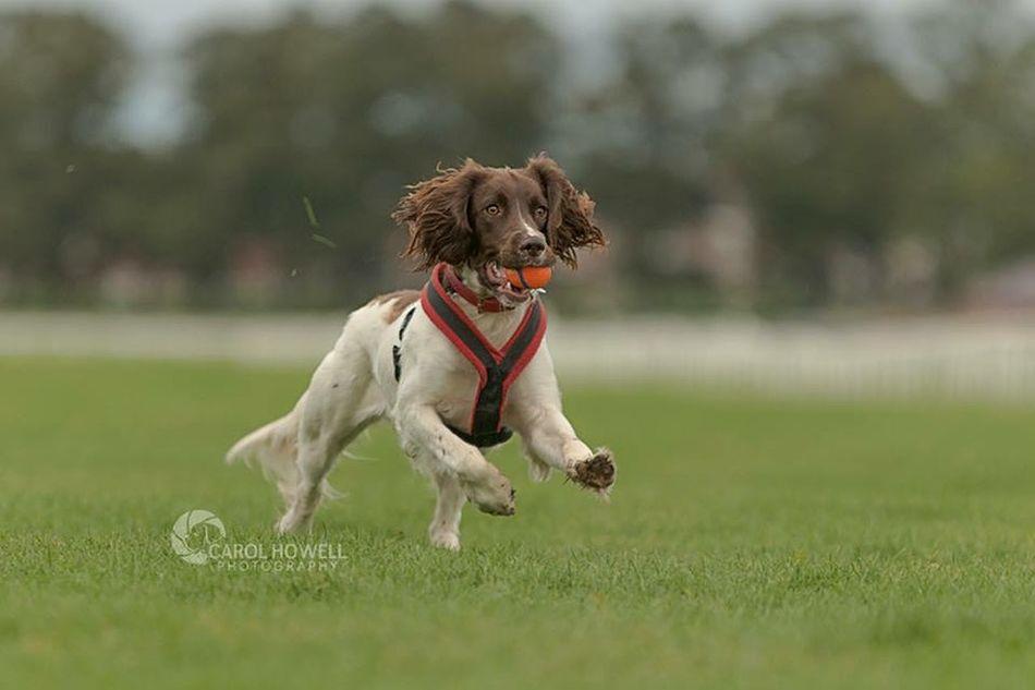 Bonnie loves her ball English Springer Spaniel Dog Pet Photography  Wolfe Does UK Pets Corner Happy I Love Dogs Nikon