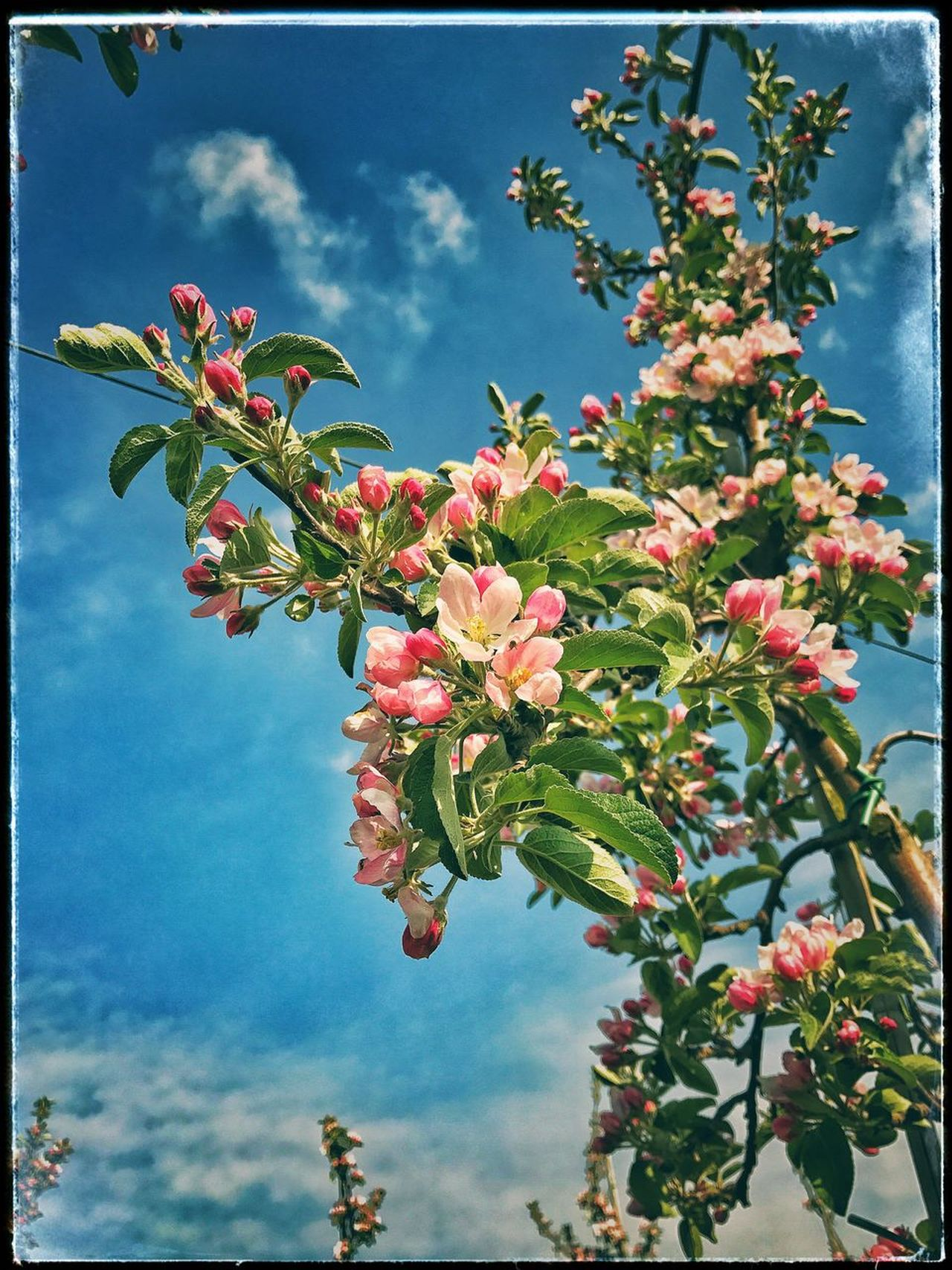 Apple Blossom Beauty In Nature Makes Me Happy