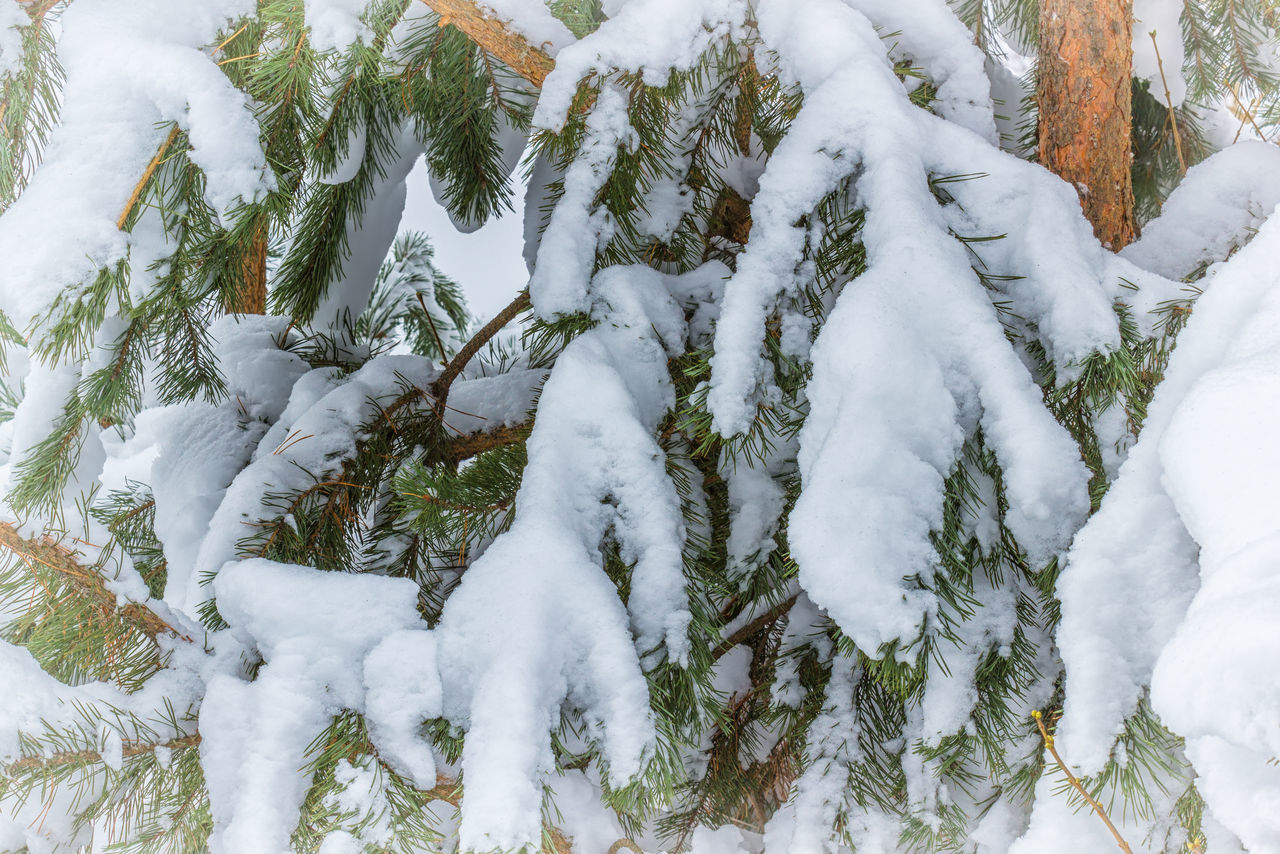 Coniferous pine branches in the snow Beauty In Nature Branch Close-up Cold Temperature Day Nature No People Outdoors Pine Snow Tree Weather White Color Winter