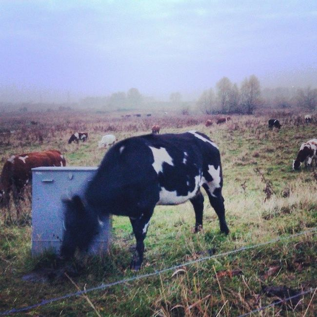 Vaca aliviándose los picores Cow Netherlands Wageningen Fun instagramers smile pretty followme nature lol dog hair onedirection sunset swag throwbackthursday instagood beach statigram friends hot funny blue life art instahub photo cool pink bestoftheday