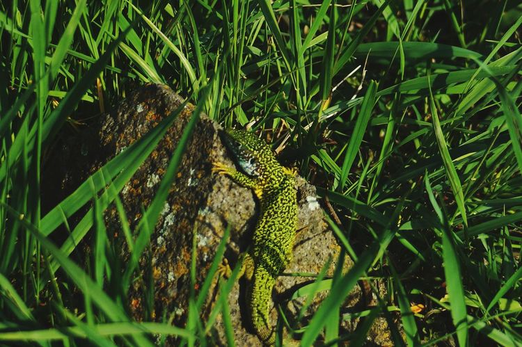 Animals In The Wild One Animal Reptile Animal Themes Green Color Animal Wildlife No People Nature Day High Angle View Outdoors Close-up Grass Nature Lover Fl Naturephotography Nature_collection Landscape_collection EyeEmNatureLover Natureporn Nature The Greatest Artist Naturesbeauty Nature Is Art Nature Makes Pattern Iguana Closing Grass Dragon Lizard Lizard Close Up EyeEm Nature Lover EyeEm Best Shots Reptile Photography Lizard Love