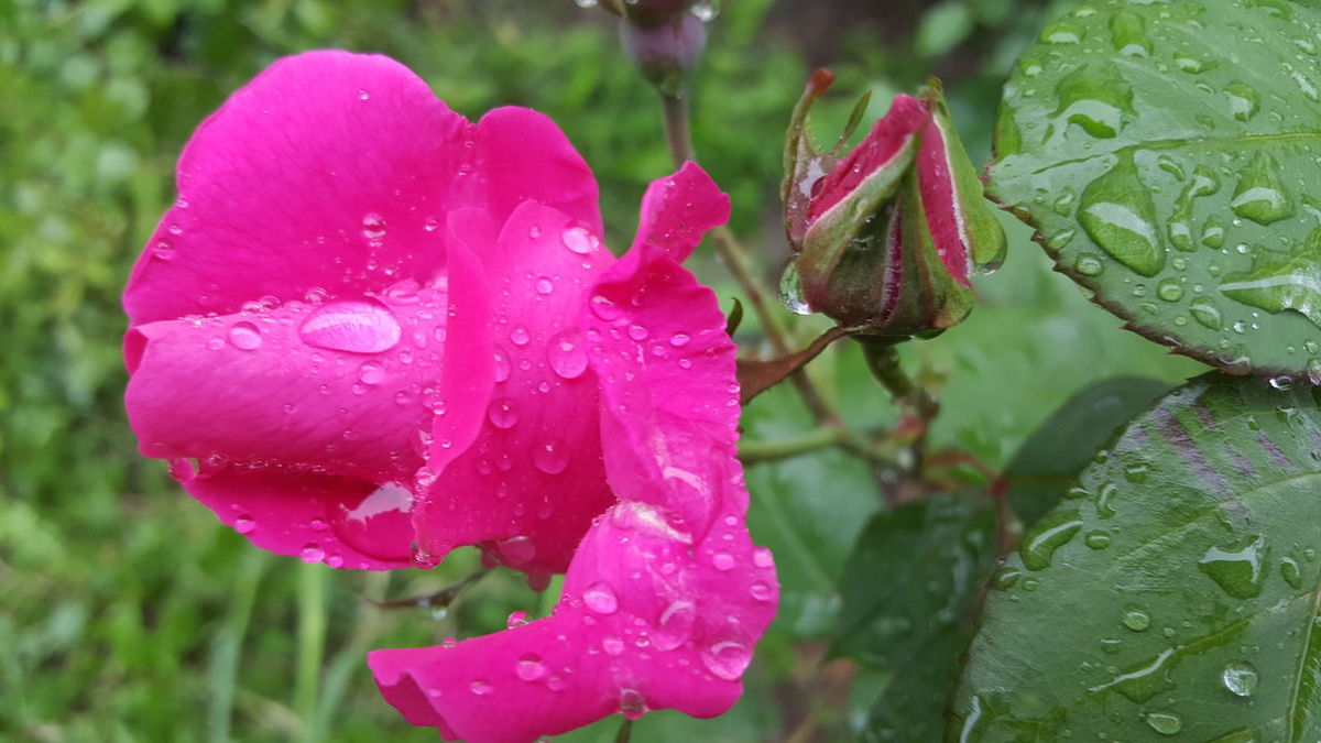 EyeEm Nature Lover Roses Springtime Drops Of Rain Flower Porn Rainy Days Rose - Flower Flower And Drops Light And Shadow Nofilternoedit Samsung Galaxy S6 Edge Nofilter