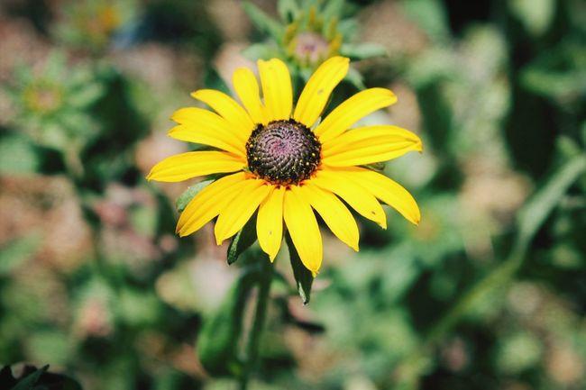 Love ♥ Flower Dazy Yelow