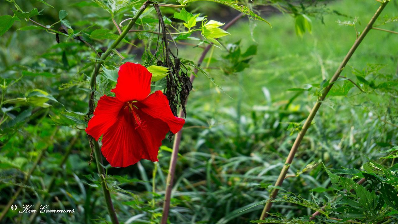 flower, growth, red, nature, petal, beauty in nature, green color, plant, fragility, flower head, blooming, freshness, focus on foreground, day, field, no people, outdoors, grass, close-up, poppy