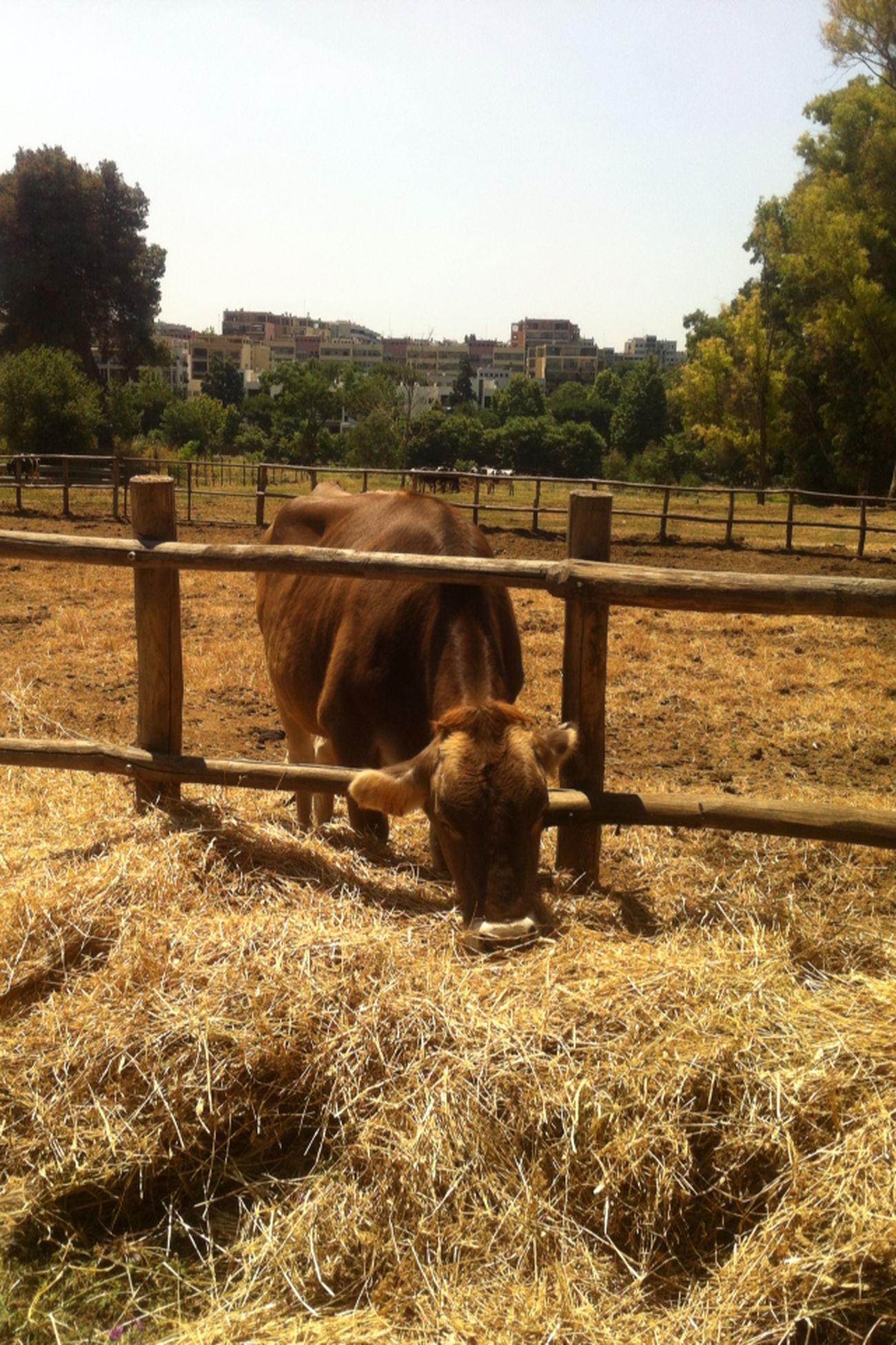 Una giornata in campagna.. Animals Mucca Animal Love Animal_collection Fotografia Rome Foto Più Seguite