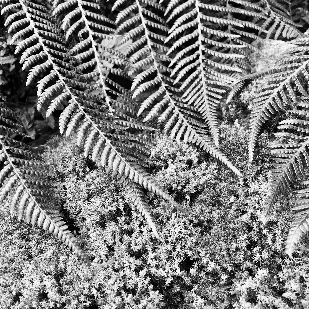 Fern Moss Nature Pattern High Angle View No People Outdoors Day Growth Close-up IPhoneography Beauty In Nature Black & White EyeEm Nature Lover