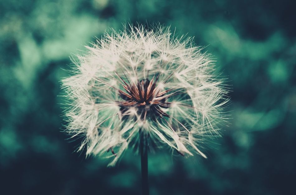 Beautiful stock photos of green, Auto Post Production Filter, Beauty In Nature, Close-Up, Dandelion