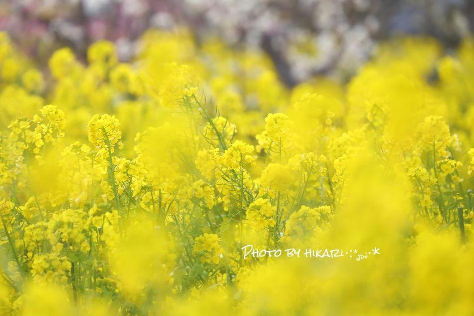 菜の花 花 菜の花 Flower Yellow Rapeblossom Photography Photo Japan Photography Japan 写真好きな人と繋がりたい 写真撮ってる人と繋がりたい ふんわりPhoto 一眼レフ
