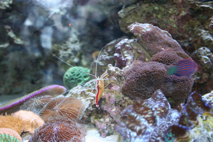 Red and yellow Shrimp in Aquarium Long Beach Aquarium Shrimp Animal Themes Beauty In Nature Close-up Coral Day Nature No People Outdoors Saltwater Aquarium Saltwater Fish Sea Sea Life Shrimps For Aquarium UnderSea Underwater Water