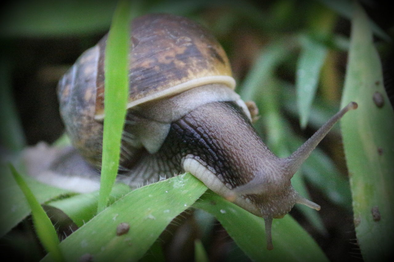 one animal, animal themes, snail, close-up, animals in the wild, nature, wildlife, day, gastropod, no people, leaf, outdoors, slug, green color, fragility, animal wildlife, plant, beauty in nature