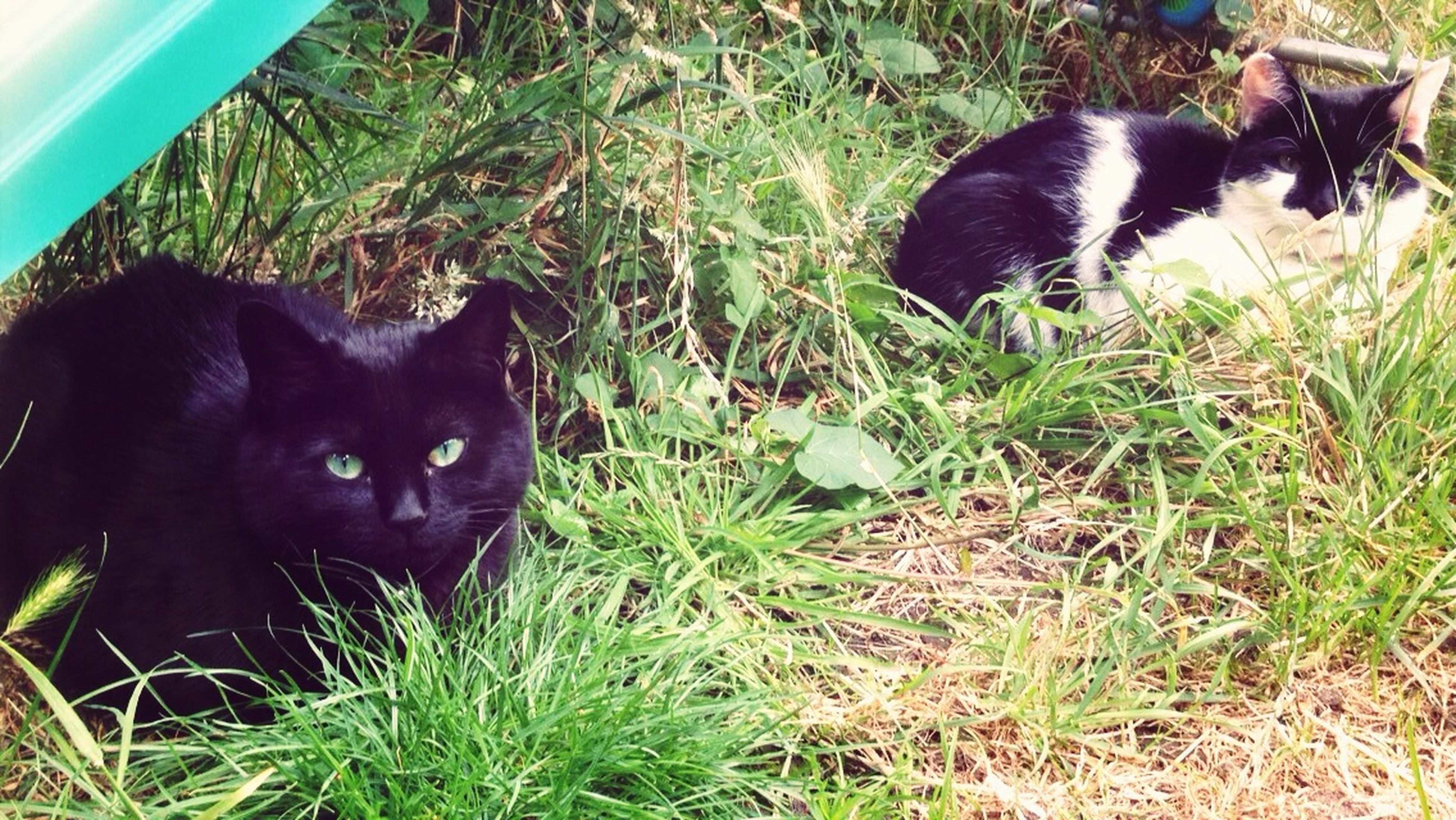 domestic animals, animal themes, pets, mammal, one animal, grass, black color, domestic cat, cat, two animals, looking at camera, feline, field, grassy, relaxation, portrait, high angle view, dog, lying down, alertness