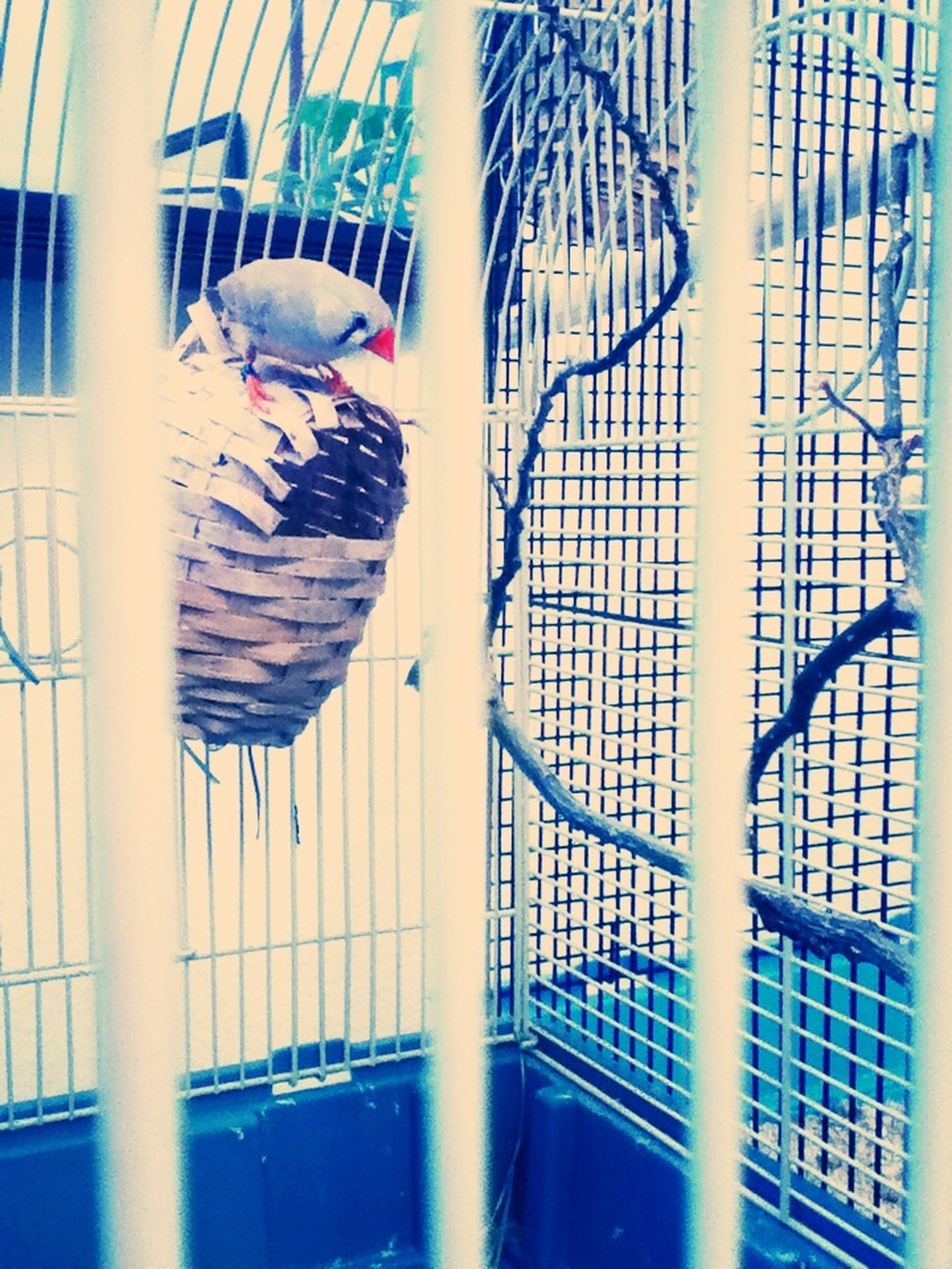 The is one of my 3 new birds her name is Nevada!