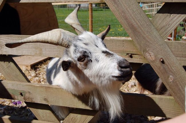 Billy Goat Billy Goat Goat Horns Animal Pet Petting Farm Gate Inquisitive Brown Farm