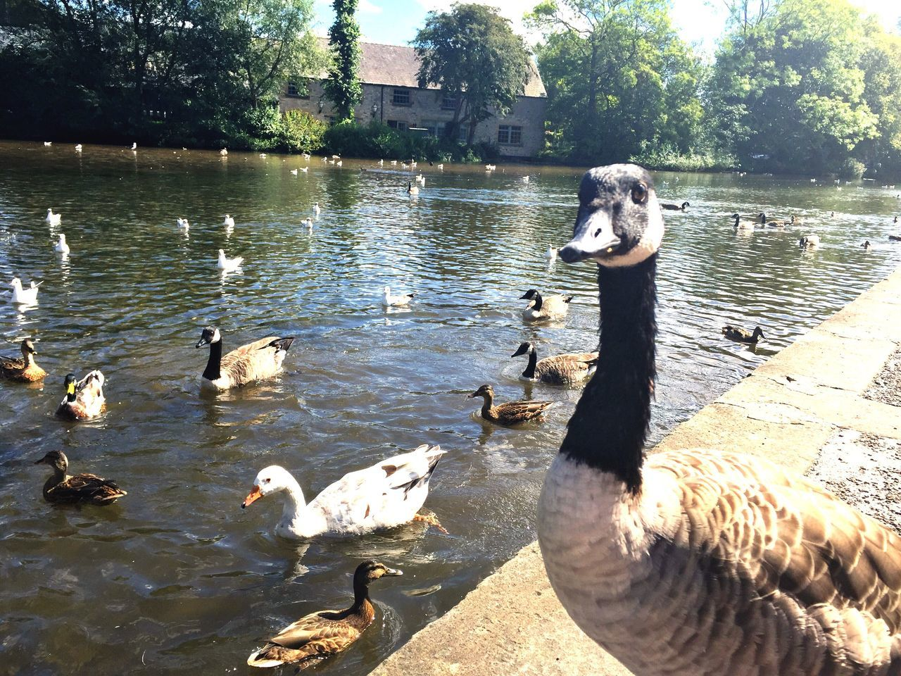 lake, animal themes, animals in the wild, water, bird, nature, animal wildlife, goose, day, tree, lakeshore, water bird, outdoors, no people, togetherness, geese, young animal, sunlight, swimming, swan
